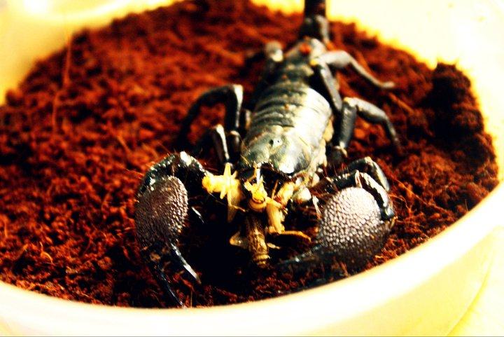 Buy Emperor Scorpion