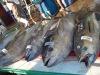 Buy Fish Tuna Fresh