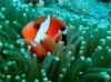 Buy Tomato Clown Fish
