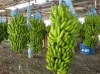Buy Philippines Banana