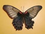 Buy Philippines Papilio Memnon