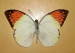 Buy Philippine butterfly Hebomoia Glaucippe