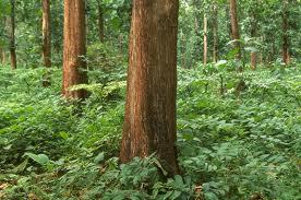 Buy Mahogany trees 15 years old, 15000 trees