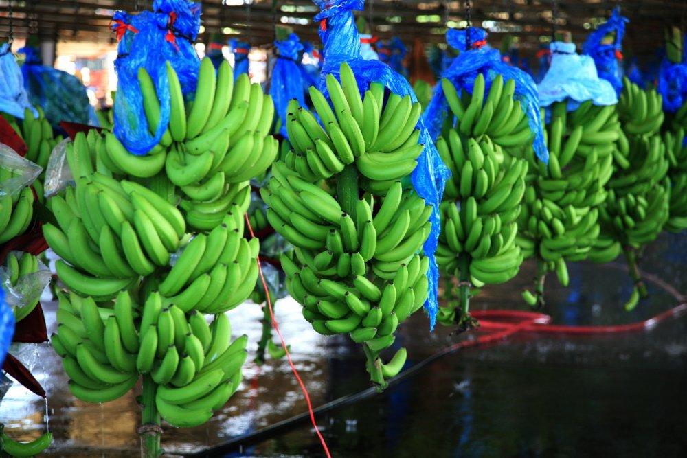 Buy Cavendish banana