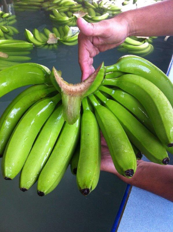Buy Bananas Cavendish