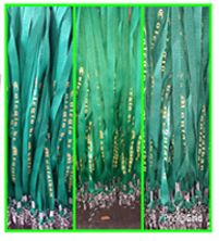 Buy ID Lace