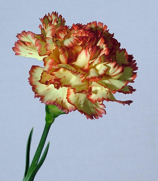 Buy Carnation Cream with Orange Flecks