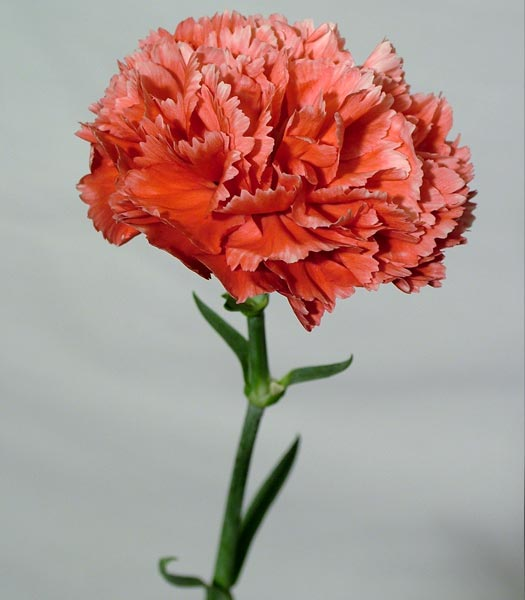 Buy Carnation White with Red Fleck