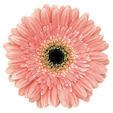 Buy Jaska Gerbera