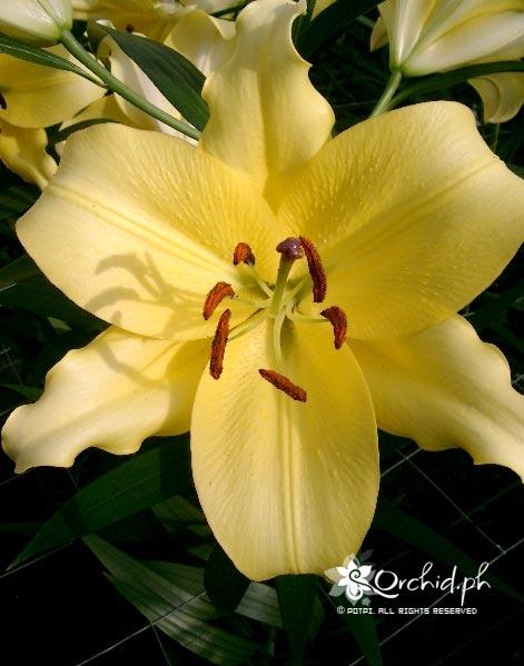 Buy Oriental Lilies