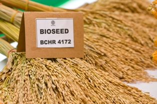 Buy Rice seeds Elite BCHR 4172