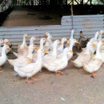 Buy Pekin duck, or Long Island duck