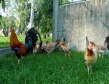 Buy Bred Roosters Fighting Cocks