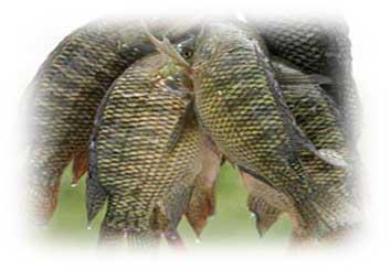 Buy Fish Fresh Tilapia