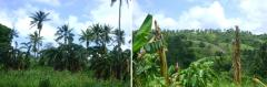 Philippines Beema Bamboo