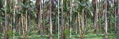 50 Year Old CoconutTtrees Intercropped With