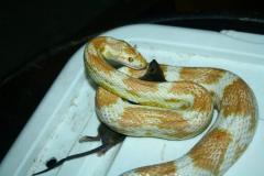 Corn Snakes Slender