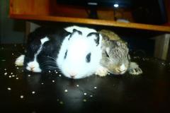 Rabbits Leporidae
