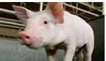 Agrado Plus Pork Data Sheet