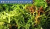 Sea Weed Extract powder