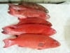 Fish Red Grouper