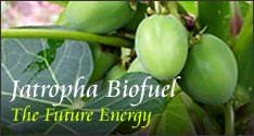 Agriculture Products Jatropha