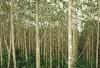 G-melina Mangium lumber, logs