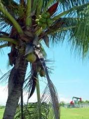 Coconut Oil-Crude