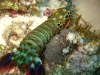 Sea Mantis Shrimp