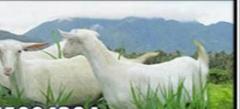 Goats Elite Species
