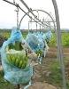 Philippine Cavendish Banana