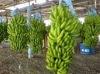 Philippines Banana
