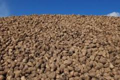 Roundup Ready Sugarbeets seeds