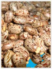 Hybrid Castor Beans