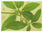 Lawat (Litsea glutinosa) leaf extracts