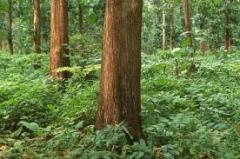 Mahogany trees 15 years old, 15000 trees