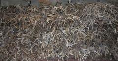 Whitetail Deer Antler Beam Pieces Quality Red Deer