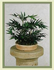 Mini Bamboo Bonsai