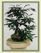 Mini Ficus Bonsai