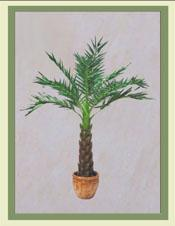 10ft Dates Palm Tree