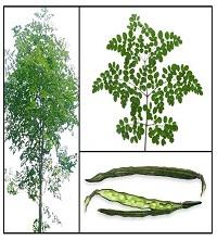 Vegetable Moringa tree