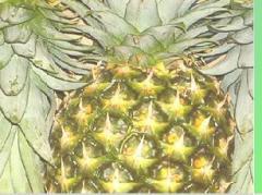 Fresh tropical pineapple