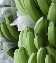 Fresh tropical bananas