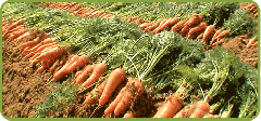 Carrots are fresh
