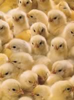 Biokorma for chickens