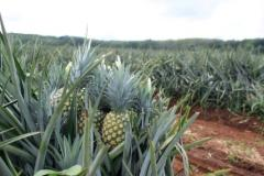 Fresh Pineapple real