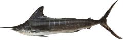 Nairagi Striped Marlin
