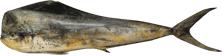 Mahimahi Dolphinfish
