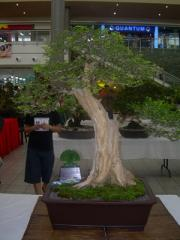 Tree Bonsai Bamboo