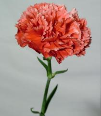 Carnation White with Red Fleck